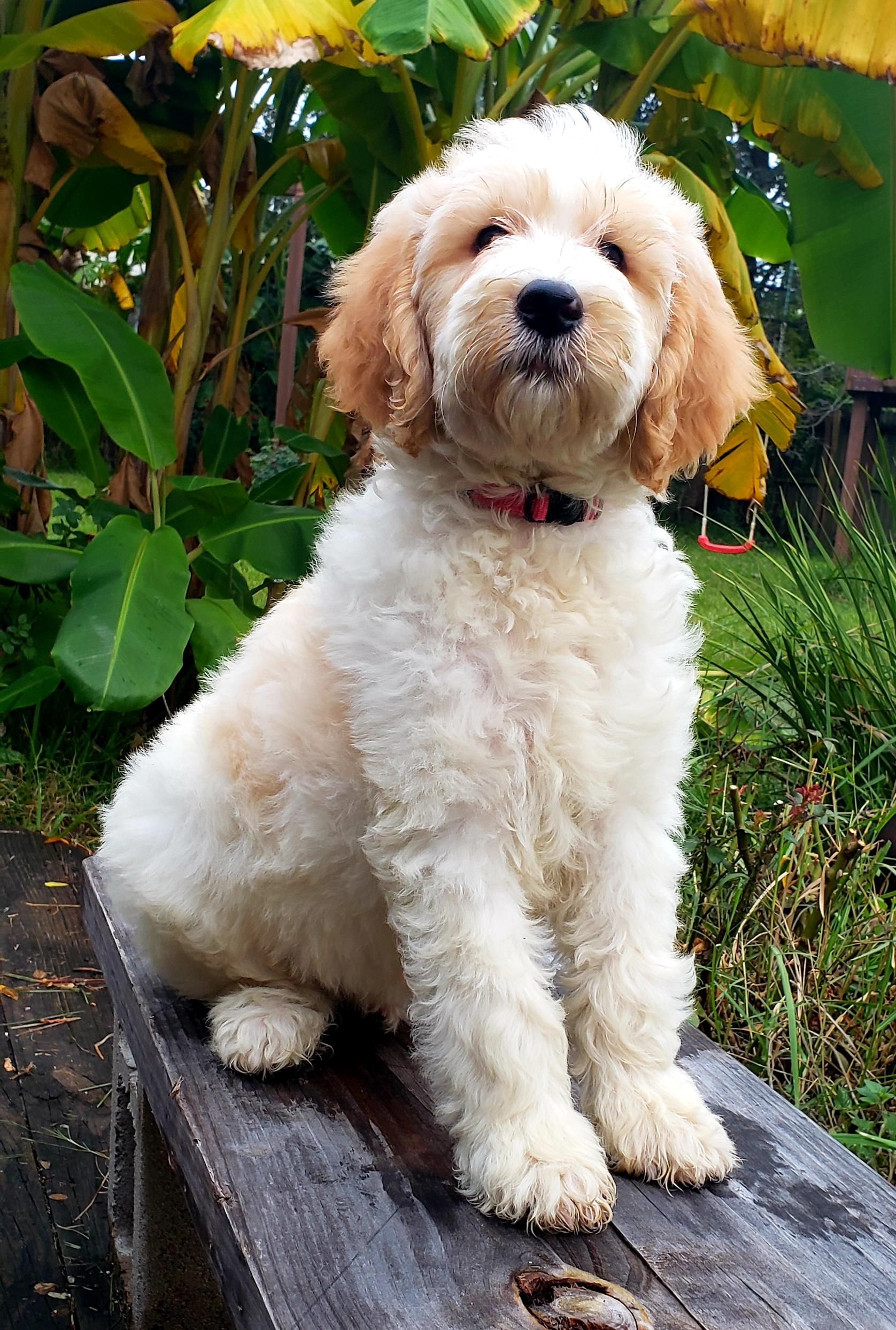 Female Goldendoodle Puppy Available Rainfield Golden Doodles